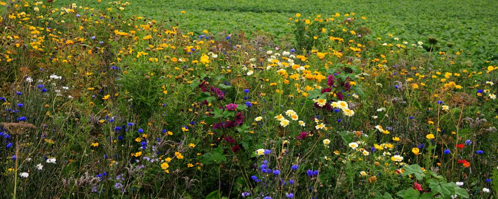 bandes fleuries pour la préservation de la biodiversité